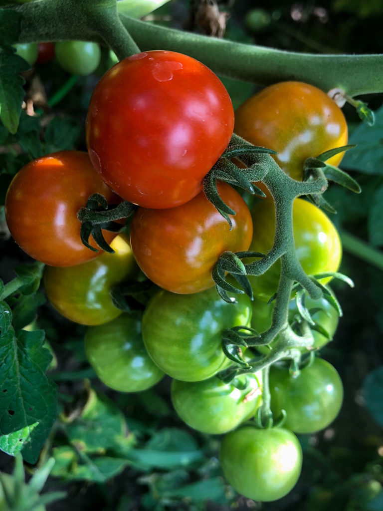 tomatoes ripening on a vine