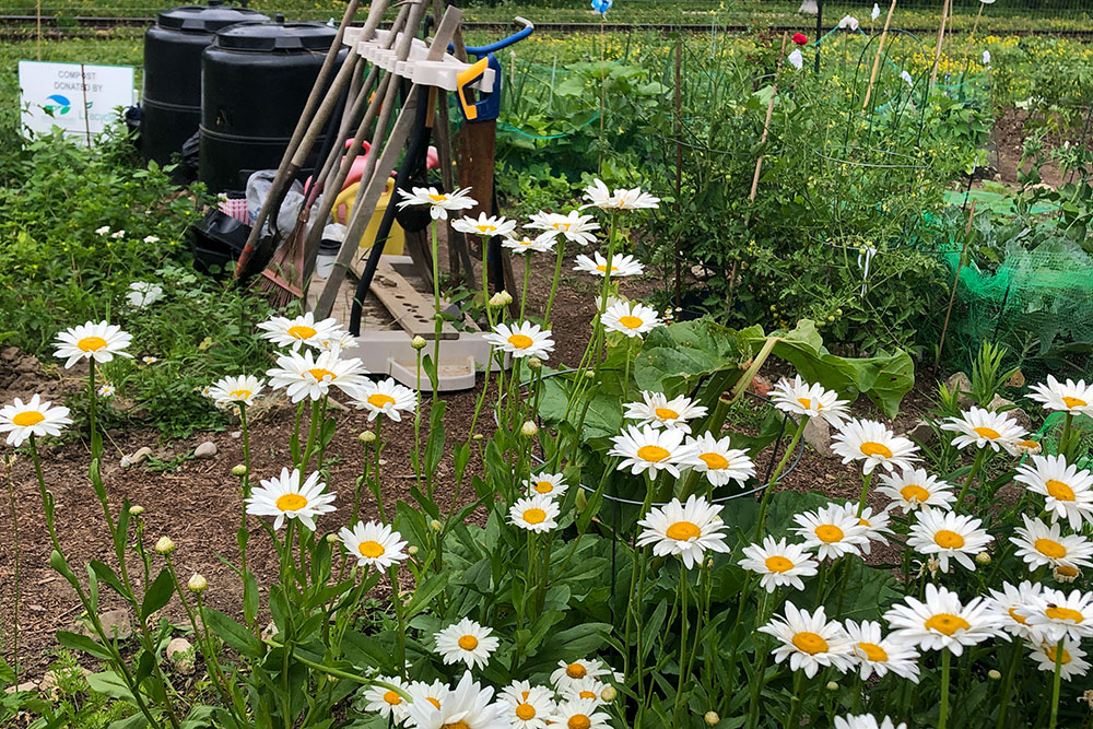 Patch of white shasta daisies with gardening tools and compost bins in the background