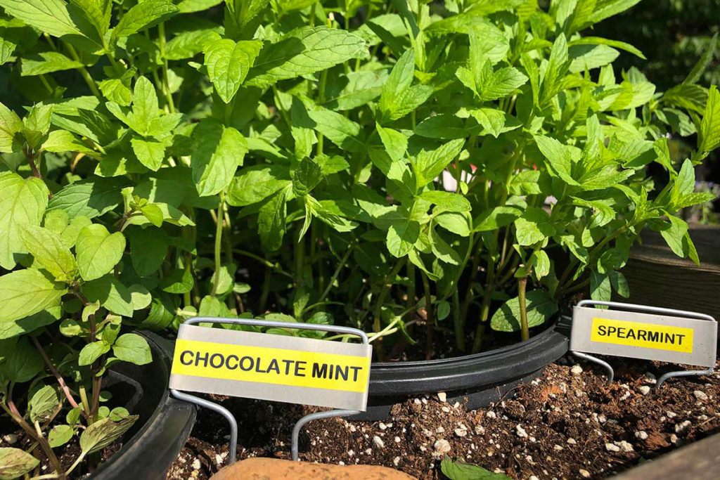 Herb planter with chocolate mint and spearmint